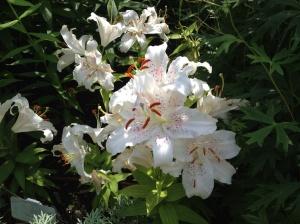 Impressive Lillies