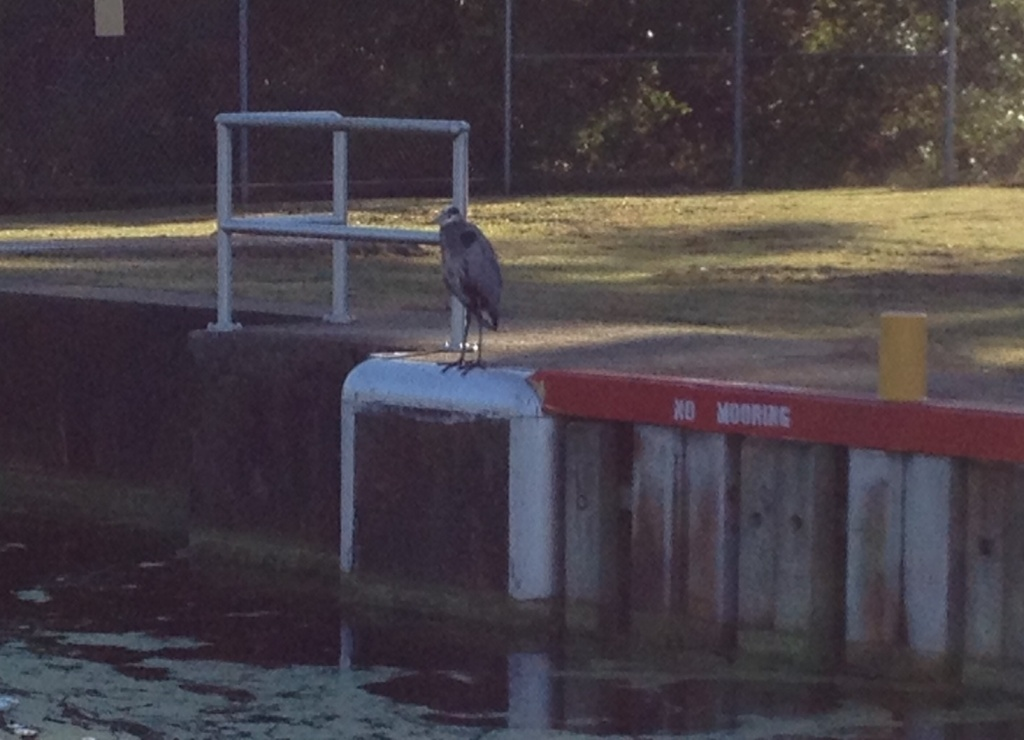 A heron observing the operation and clearly ignoring the sign.
