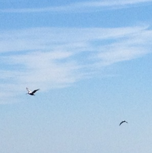 We spotted our first pelicans on the way to Deltaville!