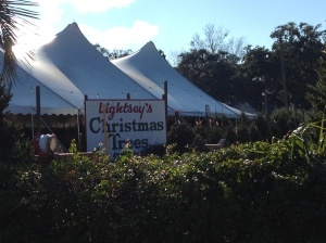 A reminder that Christmas is coming . . . Christmas trees for sale in a palm tree lined lot.