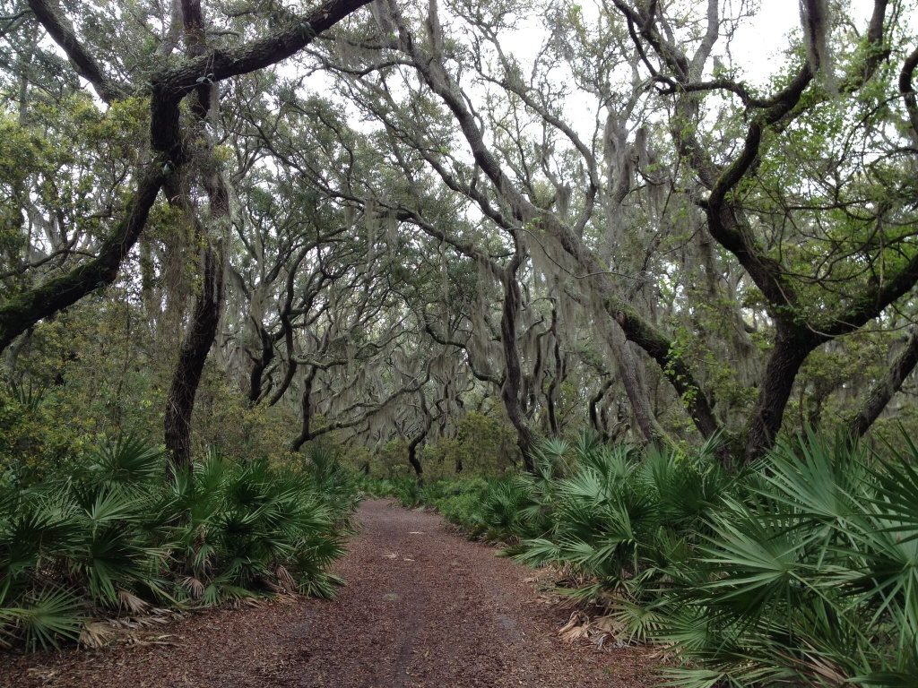 Spanish moss on live oaks - beautiful and spooky looking.